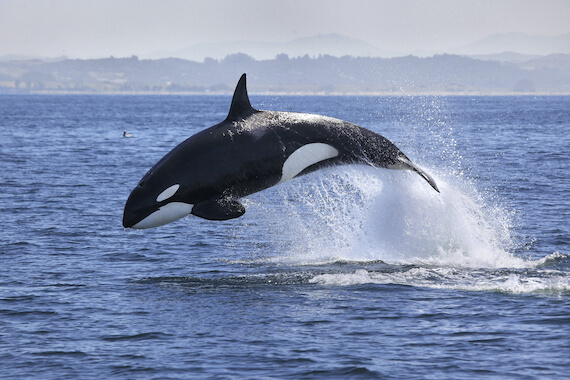 A killer whale leaping out of the sea.