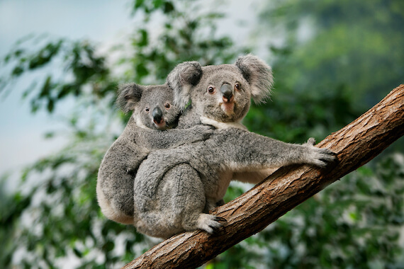 A mother koala sat on a tree branch with her young on her back.