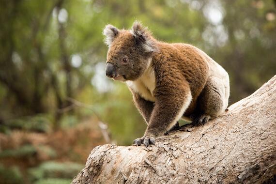 A koala sat on a tree in a forest.