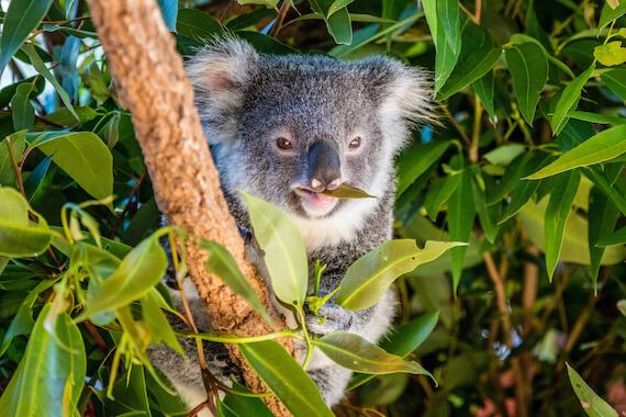 A koala eating eucalyptus leaves in a forest.