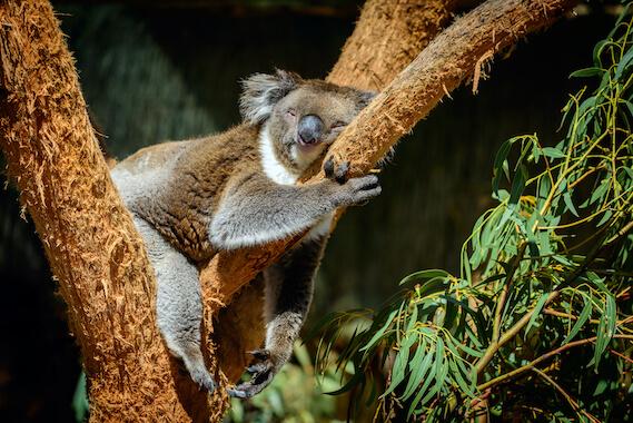 A koala sleeping in a tree in a forest.