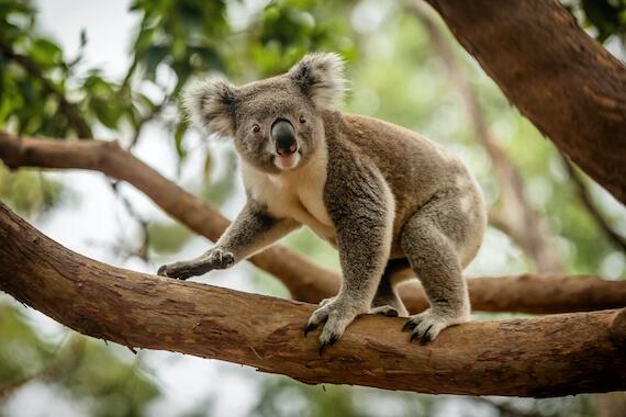 A koala walking along a tree branch in a forest.