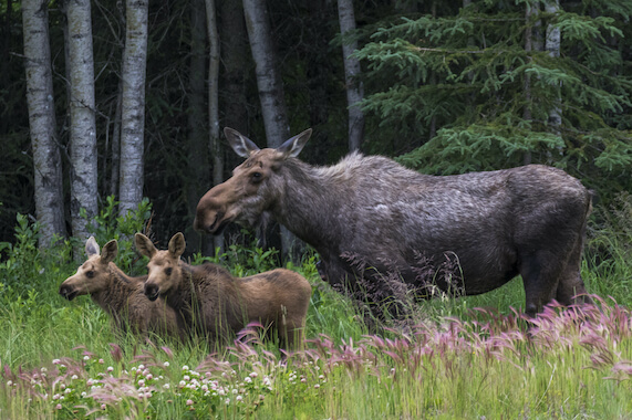 A female moose with her two calves in a forest.