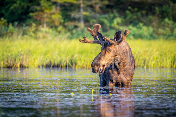 A moose wading through a lake in a forest.