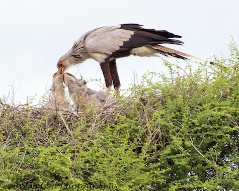 A secretary bird feeding two chicks in the nest.