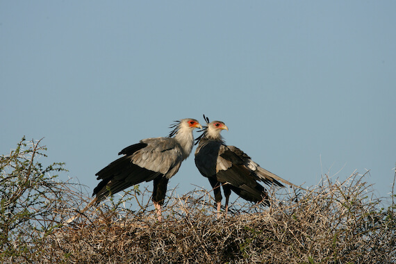 A secretary bird pair in their nest.