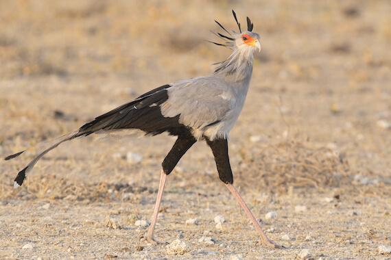 Secretary bird walking in the savannah.