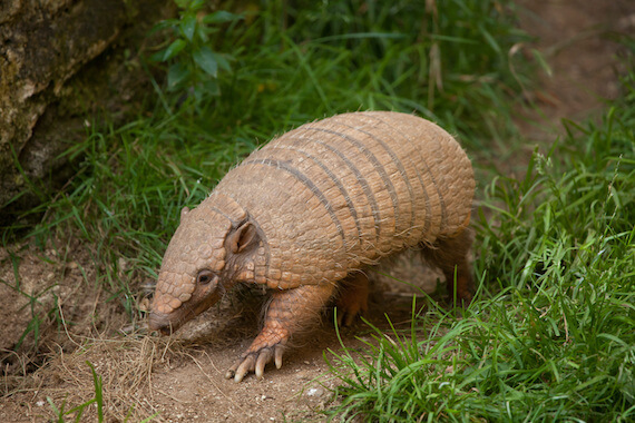 A six-banded armadillo walking on a forest floor.