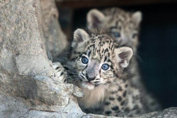 A snow leopard cub peers out of a den with another cub in the background.