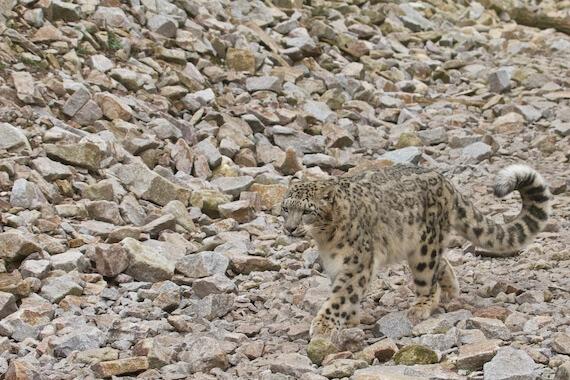 A snow leopard walking in a rocky ravine.