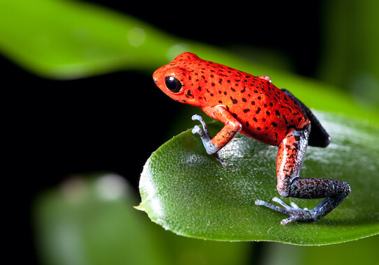 A strawberry poison frog standing on a leaf.