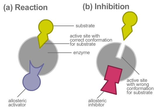 Metabolic reaction and allosteric inhibition