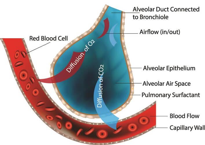 alveolar diffusion lung alveoli