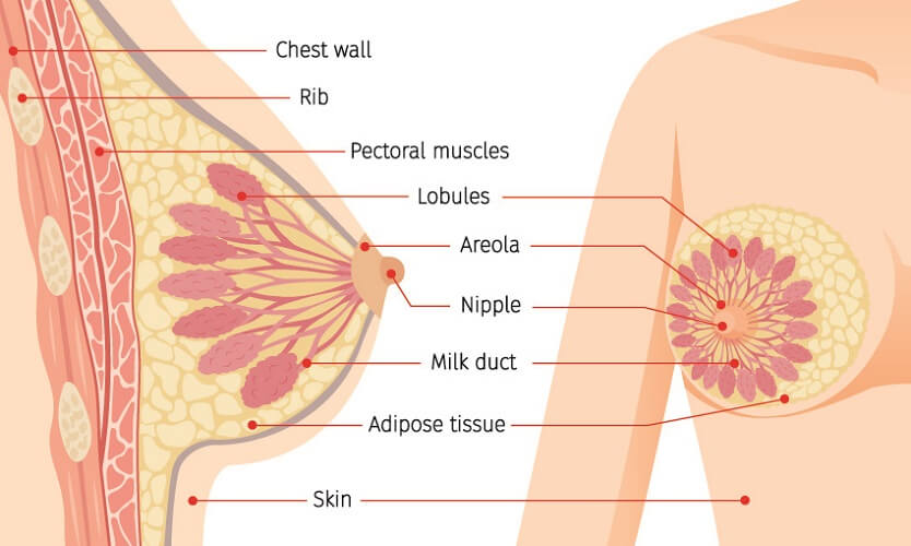 anatomy mammary glands gland chest breast