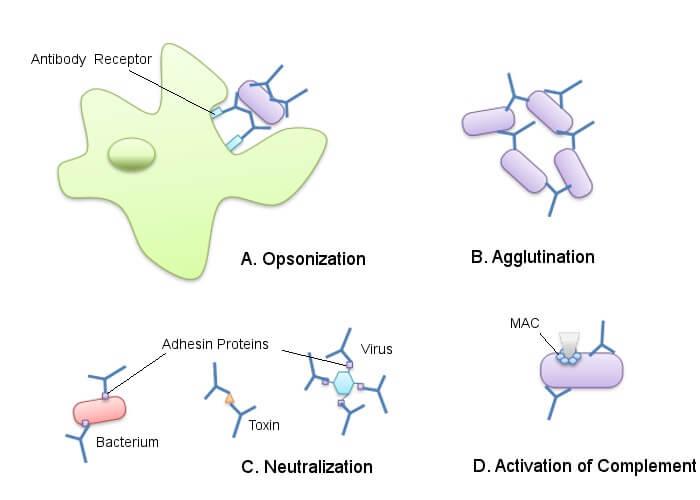 antigen b cells cell antibodies immunoglobulins