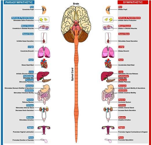 autonomic nervous system smooth muscle sympathetic parasympathetic