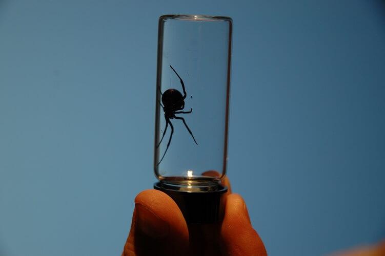 black widow spider poisonous toxin