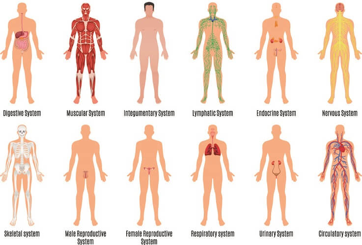 body systems anatomy physiology human