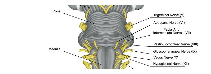 brainstem pons olive peduncle cranial nerves