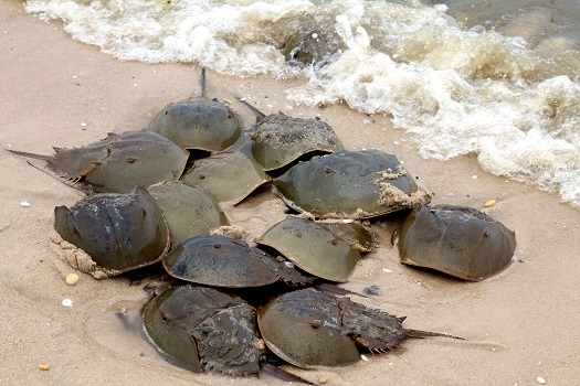 A group of horseshoe crabs on the shore breeding