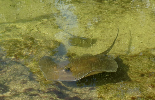 Two stingrays swimming in shallow water blending in with the bottom