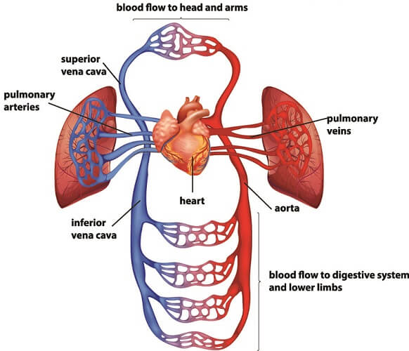 circulatory system blood flow anatomy human