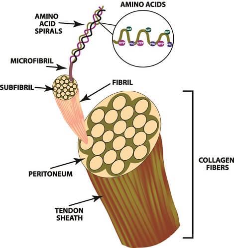 collagen fiber fibre microfibrils tissue