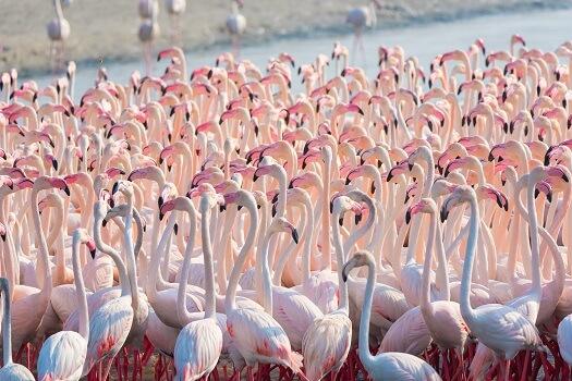 A greater flamingo colony consisting of hundreds of birds
