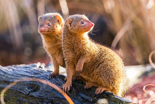 Two common dwarf mongooses