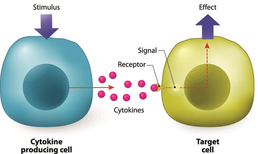 cytokines chemical messengers cellular communication B T cells inflammation