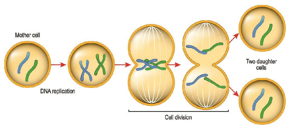 mitosis daughter cells cell division