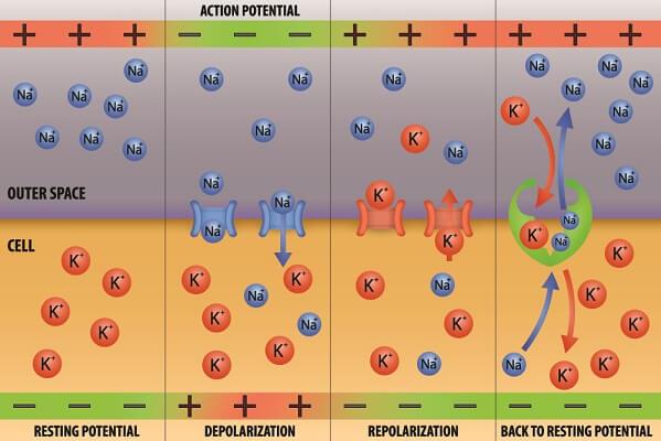 depolarization mechanism action potentials