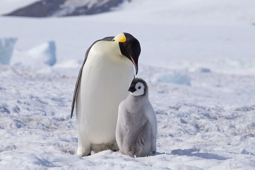 An emperor penguin with its chick on the snow