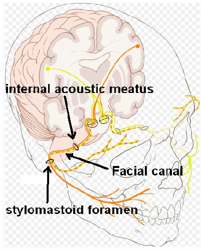 facial canal nerve cn vii internal acoustic meatus stylomastoid foramen