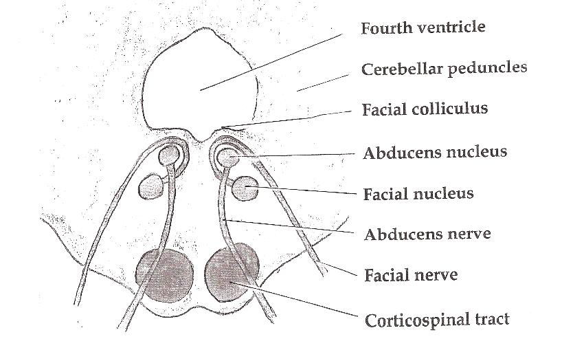 facial nucleus nerve abducens