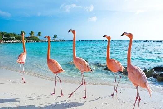 Four American flamingos on a beach