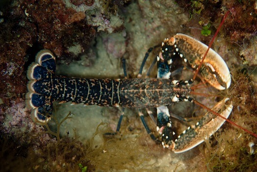 The ful body of a European lobster