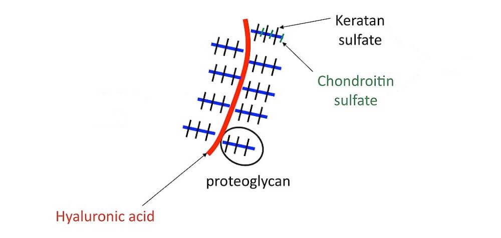 glycosaminoglycan structure proteoglycans