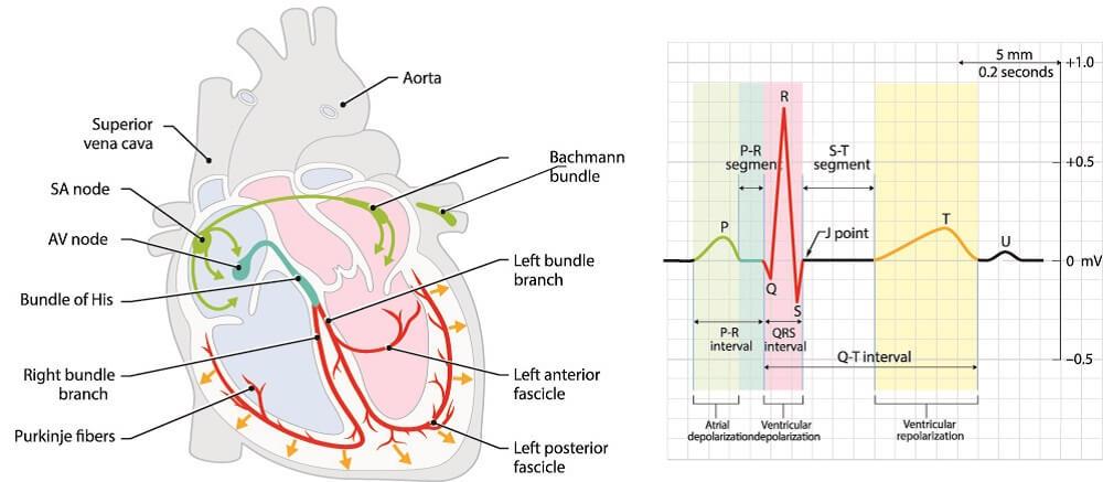 heart conduction conductivity PR interval QRS complex T wave