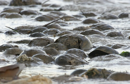Horseshoe crabs in the water coming in to breed