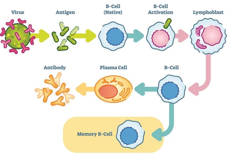 humoral immunity antibodies antigens B cells