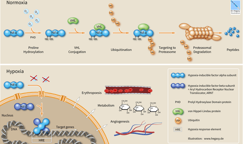 ubiquitin proteasome pathway UPP muscle
