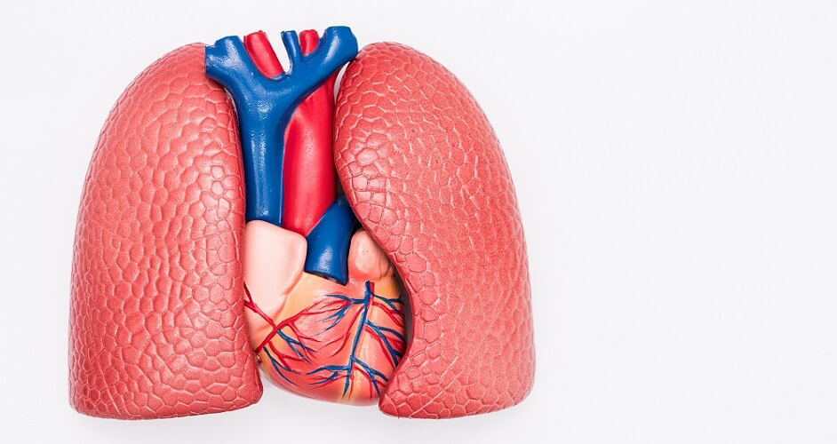 left right lung heart lobes