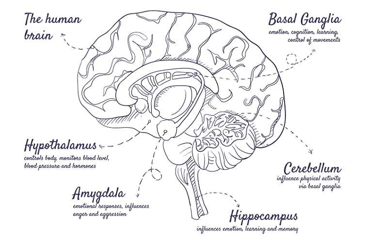 limbic system brain emotion amygdala hippocampus cerebellum