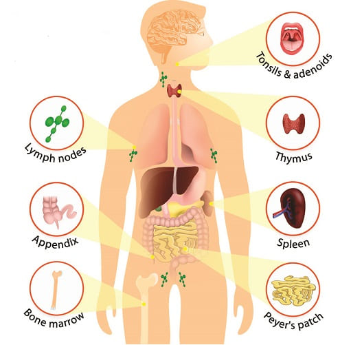 lymphoid organs spleen thymus bone marrow lymphocytes