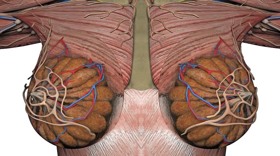 mammary gland glands