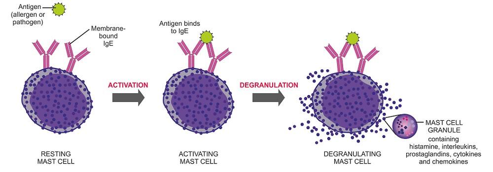 mast cell immune system immunity