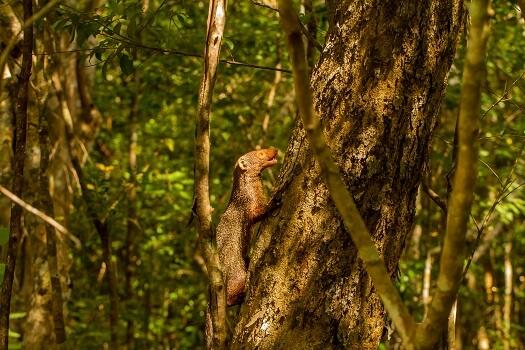 A ruddy mongoose climbing a tree