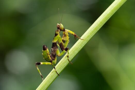 A praying mantis nymph on a plant stem