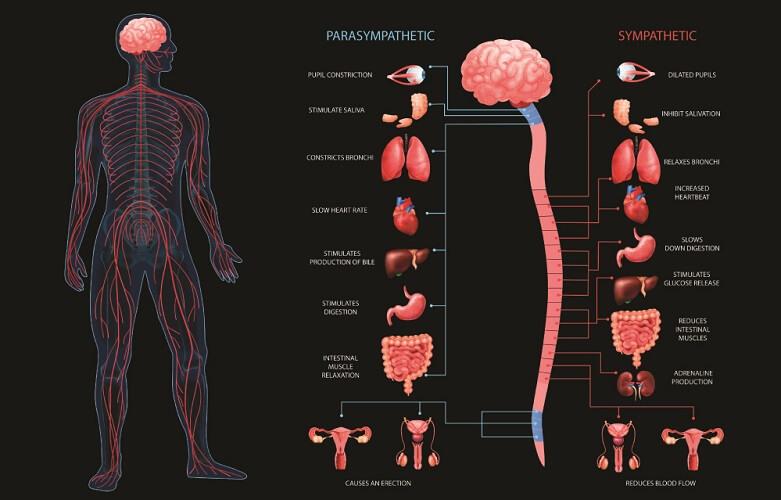 parasympathetic sympathetic autonomic nervous system